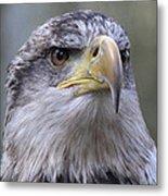Bald Eagle - Juvenile Metal Print