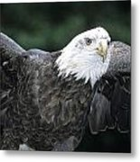 Bald Eagle Landing On Prey Metal Print