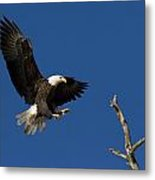Bald Eagle Landing On Snag Metal Print