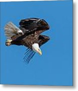 Bald Eagle Launches Into The Clear Sky Metal Print