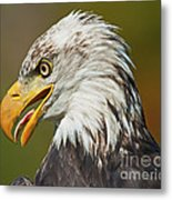 Bald Eagle... Metal Print