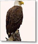Bald Eagle On A Snag Metal Print