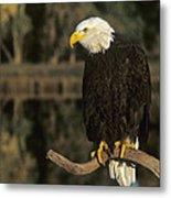 Bald Eagle On Dead Snag Wildlife Rescue Metal Print