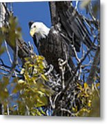 Bald Eagle On Nest Near The Oxbow Metal Print