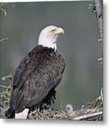 Bald Eagle On Nest With Chick Alaska Metal Print by Michael Quinton