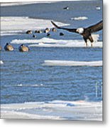 Bald Eagle Over Maumee River 2456 Metal Print