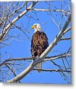 Bald Eagle Perched Metal Print