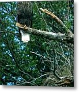 Bald Eagle Poses Metal Print