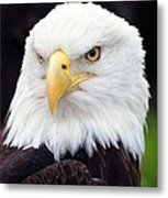 Bald Eagle - Power And Poise 02 Metal Print