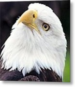 Bald Eagle - Power And Poise 03 Metal Print