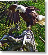 Bald Eagle With A Broken Wing In Salmonier Nature Park-nl Metal Print