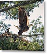 Bald Eagle With Eaglet Metal Print