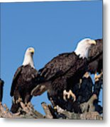 Bald Eagles Quartet Metal Print