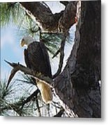 Bald Eagles Eye View Metal Print