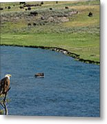 Baldy And Bull Metal Print