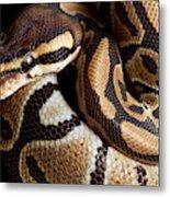 Ball Python Python Regius Metal Print