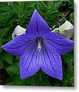 Balloon Flower Metal Print by Julie Dant