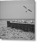 Baltic Sea-gulls Metal Print