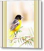 Baltimore Oriole 4348-11 - Bird Metal Print