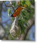 Baltimore Oriole And Nest Metal Print