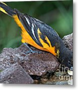 Baltimore Oriole Drinking Metal Print