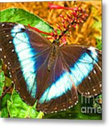 Banded Morpho Butterfly Metal Print