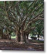 Banyan Tree Reaching For The Sky Metal Print