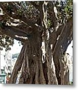 Banyan Trees In Velez Malaga's Parque De Andalucia Metal Print