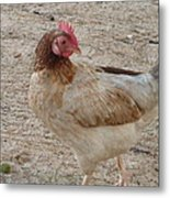 Barbados Free Range Chicken Metal Print