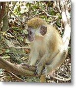 Barbados Green Monkey Metal Print