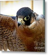 Barbary Falcon Wings Stretched Metal Print