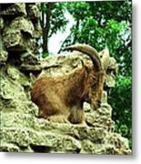 Barbary Sheep 2 Metal Print