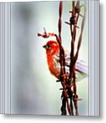 Barbed Wire And Finch Metal Print