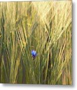 Barley And Corn Flowers In The Field Metal Print