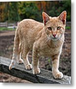 Barn Cat Metal Print by Rona Black