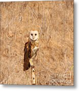Barn Owl Perching Metal Print