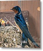 Barn Swallow At Nest Metal Print