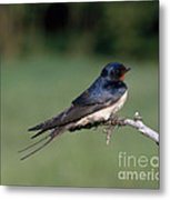Barn Swallow Metal Print by Hans Reinhard