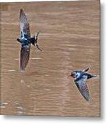 Barn Swallow In Flight Metal Print by Mike Dickie