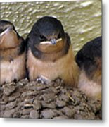 Barn Swallows 1 Metal Print