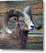 Barn Wood Bighorn Metal Print