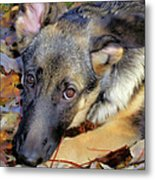 Baron In The Leaves Metal Print
