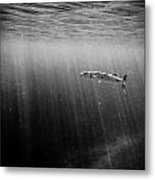 Barracuda Metal Print