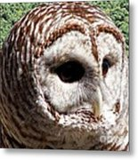 Barred Owl 2 Metal Print