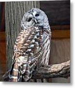 Barred Owl 264 Metal Print