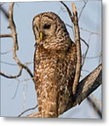 Barred Owl Okefenokee Swamp Georgia Metal Print
