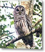 Barred Owl Staring Metal Print