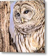 Barred Owl Watch Metal Print