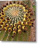 Barrel Cactus Bearing Fruit At El Mirador Rv Resort In San Carlos-sonora-mexico Metal Print