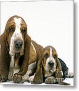 Basset Hound Dogs Metal Print